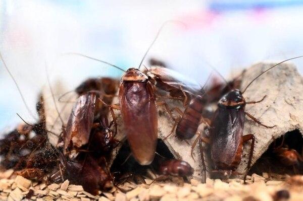 Cucarachas y pobreza van de la mano en la magia negra. Foto Shuttlerstock.