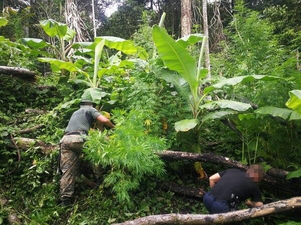Los oficiales deben caminar varios días en la montaña para llegar a los sembradíos. Foto MSP.