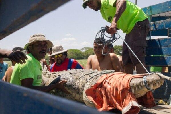 Este es el cocodrilo cuando lo sacaron del agua. Foto: Diario el Independiente.