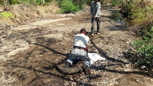 Los oficiales amarraron el animalote con cuidado para no herirlo. Foto: MSP.