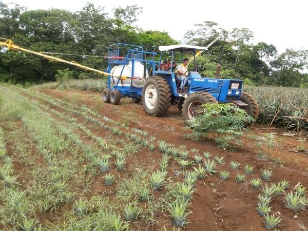 Los pequeños productores de piña de la zona Norte dicen que las grandes empresas trasnacionales los están ahogando con precios baratísimos.