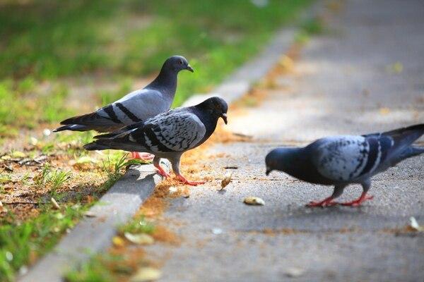Aves como las palomas pueden confundir los trozos de chicle tirados en la calle con alimento y sufrir serias afectaciones que les pueden provocar la muerte. Foto: Shutterstock