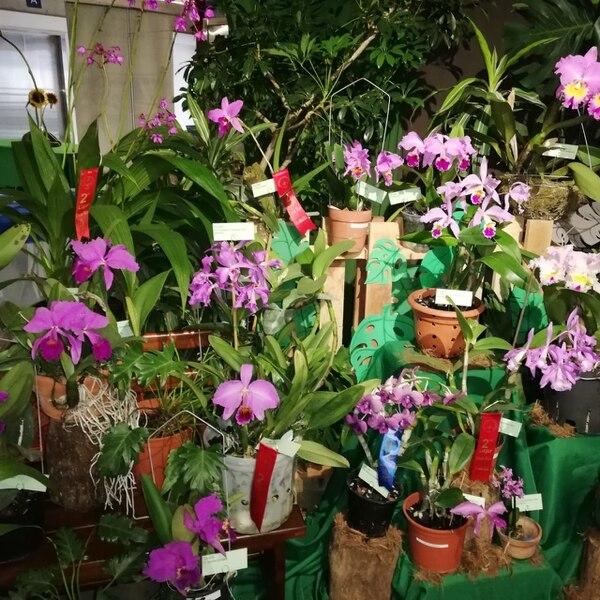 Una de las características que más gusta de la orquídea es que al florecer, antitos de abrirse, gira 180 grados para mostrarse toda bella y hermosa,