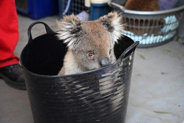 Los koalas dependen de sus cuidadores. AFP