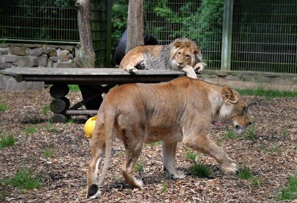 Dos leones fueron parte de los felinos que se escaparon. AFP