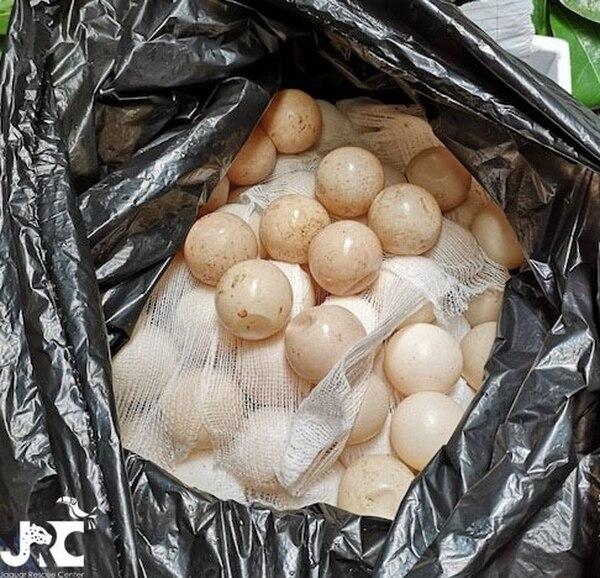 Los huevos fueron llevados a un vivero en Cahuita. Foto de Jaguar Rescue Center.