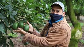 Aguacate Hass agarra fuerza entre productores de Llano Bonito de León Cortés