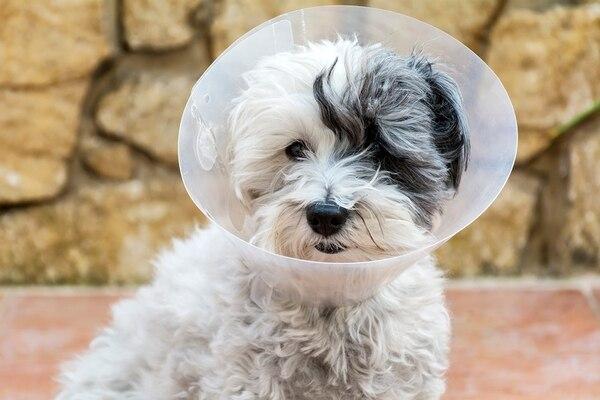 Las castraciones evitan enfermedades como cáncer de mama, tumores, enfermedades de transmisión sexual, embarazos psicológicos, que entren en celo y crías abandonadasFoto: Shutterstock