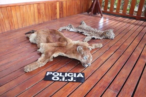 Hasta animales disecados hay en las propiedades del supuesto narco. Foto: OIJ