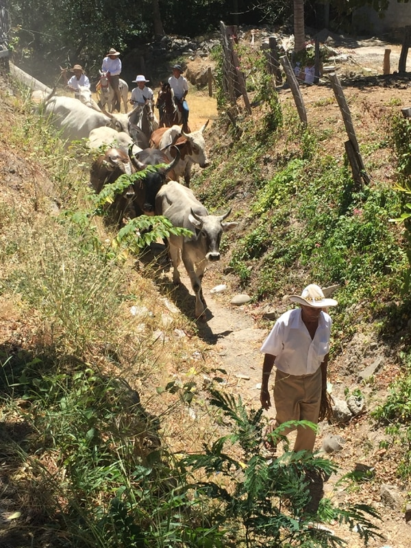 Don Wicho arriando el ganado, rumbo al redondel. Foto: Cortesia Ministerio de Cultura.