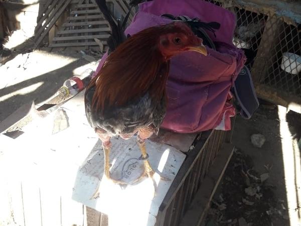 Senasa se llevó los gallos rescatados en el lugar. Foto: MSP.