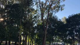 11 árboles en el centro de San José podrían matar a más de uno