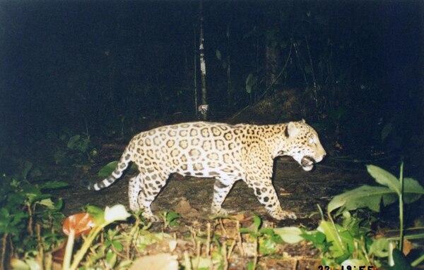 El jaguar es el felino más grande de Costa Rica, después siguen el puma y el manigordo. Foto: Eduardo Carrillo.