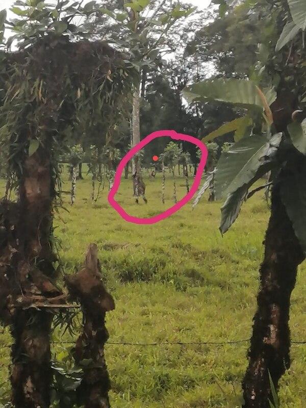 Unos carajillos de Sarapiquí tomaron esta foto y aseguran que es la de un león africano que anda suelto. Cortesía.