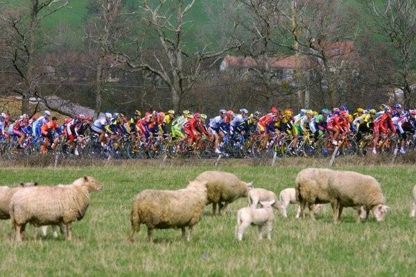 Las ovejas son un problema serio y desagradable para los ciclistas noruegos.Foto: AFP