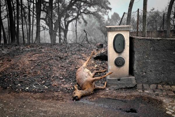 Además de la pérdida de vidas humanas, la cantidad de animales carbonizados no se ha cuantificado. AFP
