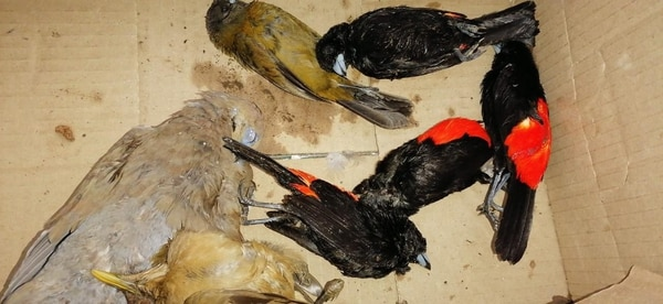 Los pájaros se murieron al mismo tiempo. Foto: E. Chinchilla