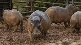 Esterilizan 24 hipopótamos de los que Pablo Escobar dejó en hacienda de Colombia