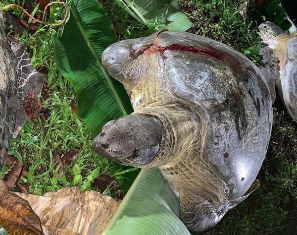 Las doce tortugas estaban heridas. Foto: Fiscalía.