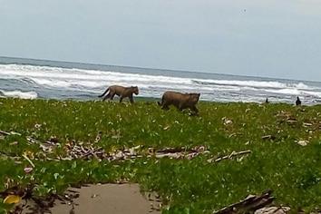 Un video y fotos de jaguares se esparcieron rápidamente en Whatsaap en el Parque Nacional Tortuguero