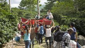 Finca cafetalera en Turrialba busca 100 breteadores para coger café