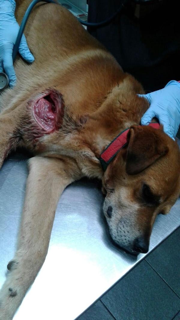 El perrito será operado en los próximos días. Foto: Keyna Calderón.
