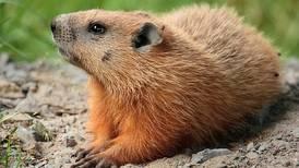 Comió marmota, se contagió de peste bubónica y murió