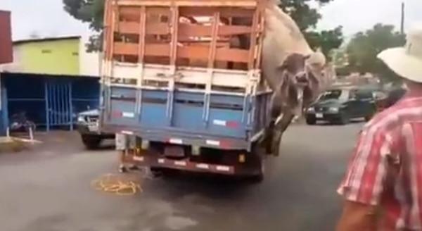 El camión fue movido con la vaca guindando y ni aún así se salió de donde estaba atrapada.