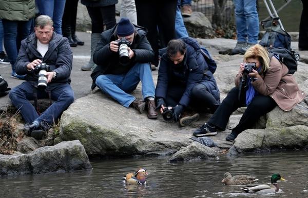 Todos quieren una foto del simpático emplumado. (AP Photo/Seth Wenig)