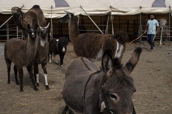 El circo cuenta con 40 animales. (Photo by MARCO BERTORELLO / AFP)