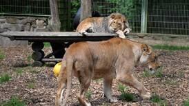 Alboroto por fuga de animales de zoológico alemán