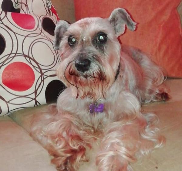 Kira, perrita de raza Schnauzer que se perdió el 16 de octubre en Peñas Blancas de San Ramón. Foto Daniela Salas.