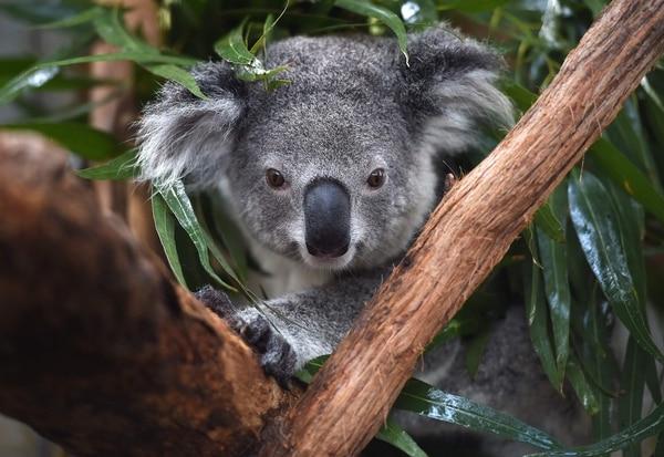 Koala muerto atornillado a un poste genera indignación en Australia