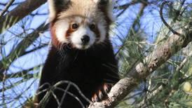 Buscan a panda rojo que se escapó de un zoológico