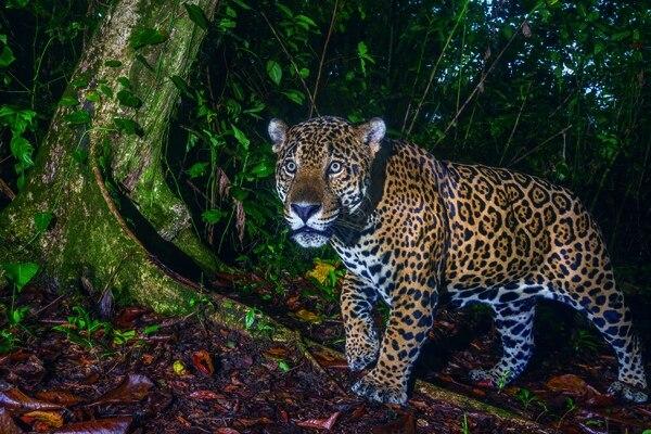Este 29 de noviembre es el día internacional del jaguar. Cortesía: Ojalá Ediciones.