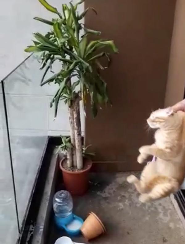 Este fue el gatito que lanzaron desde un octavo piso, según la Federación Canina en el apartamento había más gatos. Foto: Captura de video
