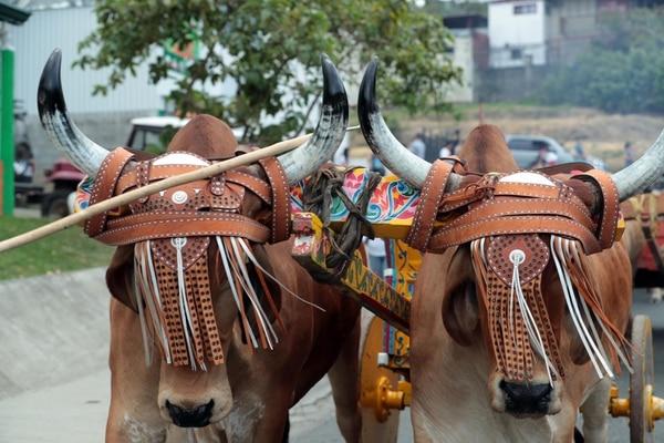 El desfile de boyeros es este domingo 12 de mayo a las 10:30 a.m. Foto Alonso Tenorio