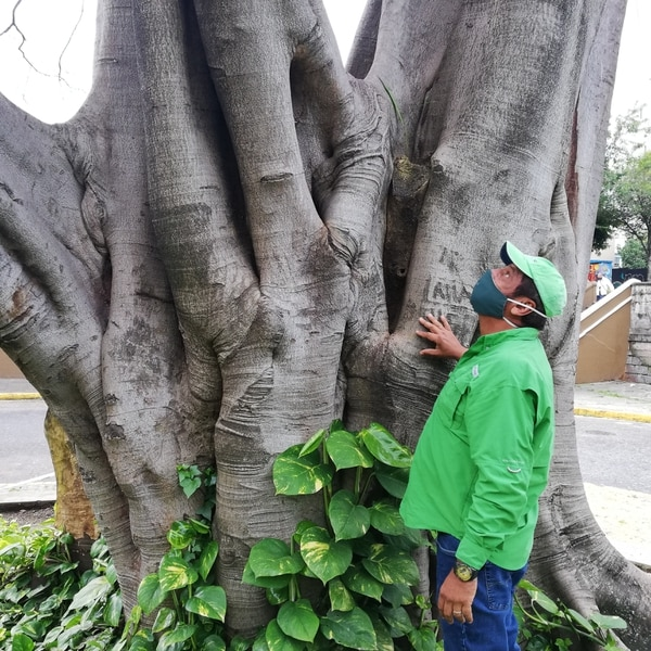 El doc volvía a ver al árbol con un gran desconsuelo, pero entendía que no había nada que hacer. Foto Eduardo Vega Arguijo.