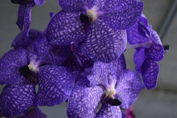 Casi siempre las orquídeas tienen tres sépalos, dos pétalos y un labelo, el cual es perfecto para atraer a los polinizadores.