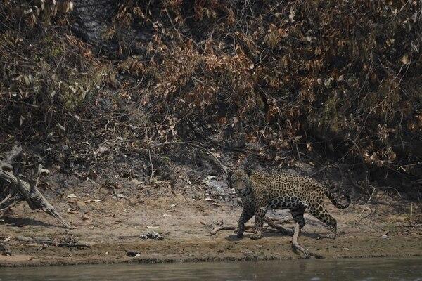 Un jaguar herido buscó la cercanía del agua para escapar de las llamas. AFP