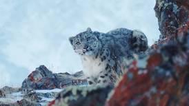 ¡Buena noticia!: El leopardo de las nieves reaparece después de varios años
